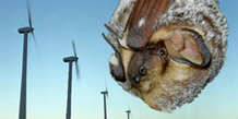 Bat and wind turbines