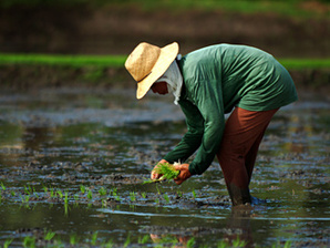 Rice worker