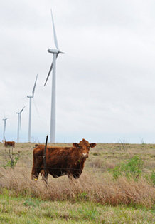 Cattle and Turbines