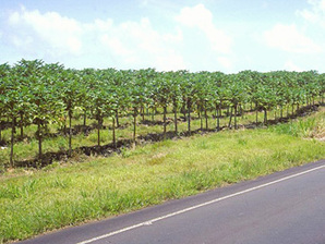 Papaya orchard