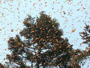 Monarchs flying