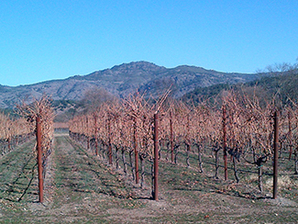 Dry grapevines