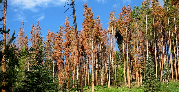 Lodgepole pines affected by bark beetles