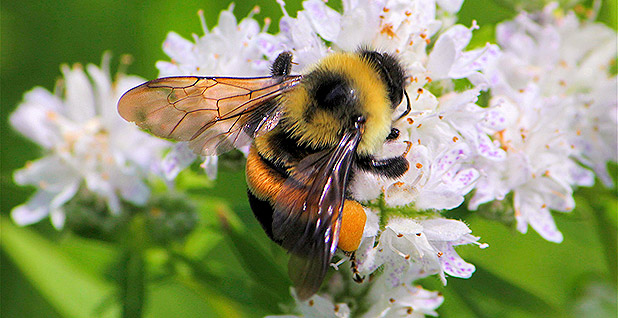 After some bumbling, a bee buzzes onto the endangered species list