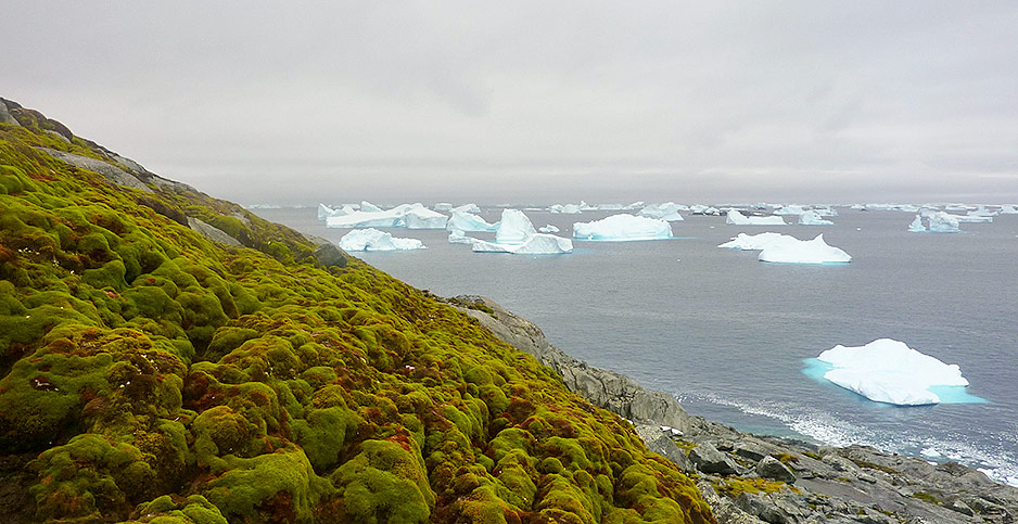 Moss bank in Antarctica