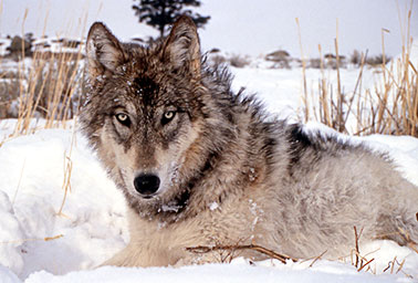 Gray wolf. Photo credit: National Park Service/Flickr