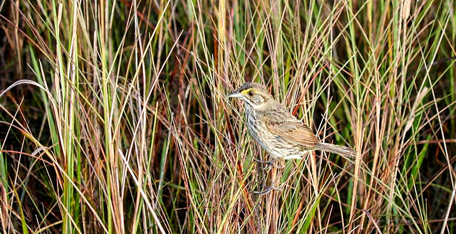 Cape Sable seaside sparrow. Photo credit: Lori Oberhofer/National Park Service