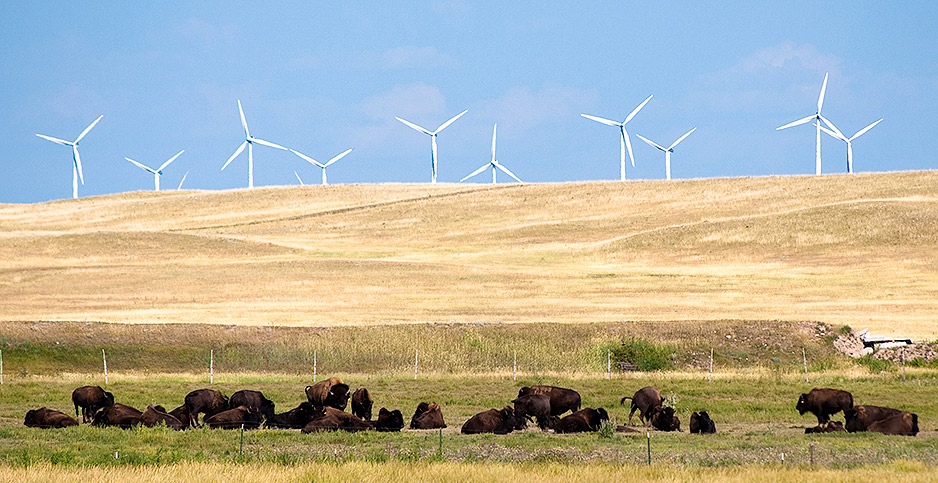 Wind turbines and American Buffalo. Photo credit: CGP Grey/Flickr