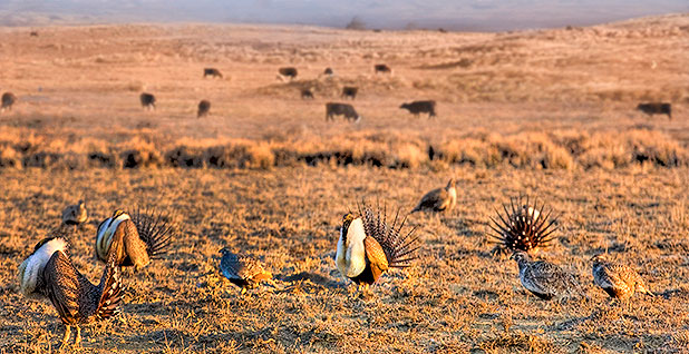 Sage Grouse. Photo credit: U.S. Department of Agriculture/Flickr