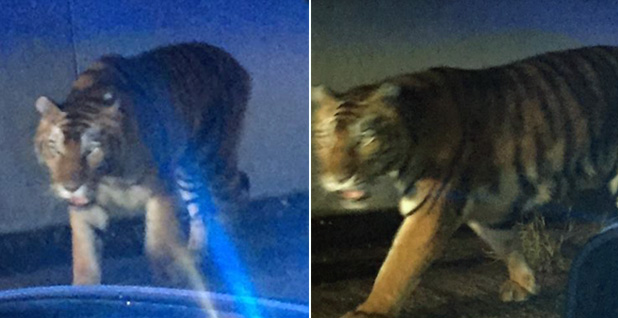 Tiger. Photo: Henry County Police Department/Facebook