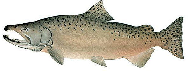 Adult Chinook Salmon. Photo credit: National Marine Fisheries Service