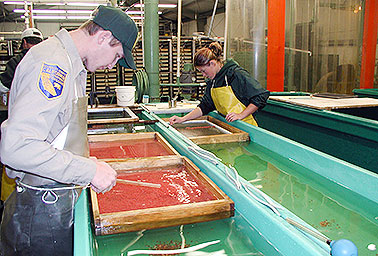 Staff examine salmon eggs. Photo credit: Dr. Mark Clifford/California Department of Fish and Wildlife/Flickr