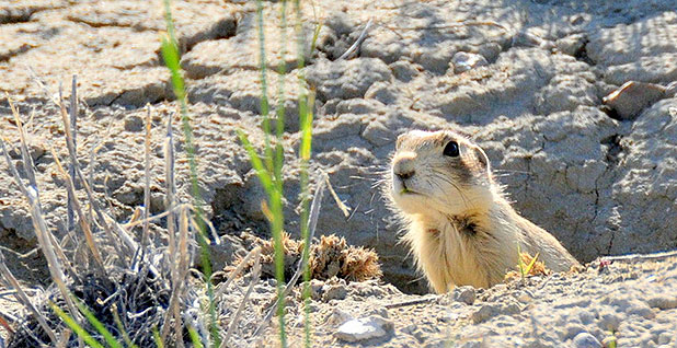 Utah prairie dog. Photo credit:Tom Koerner/Fish and Wildlife Service