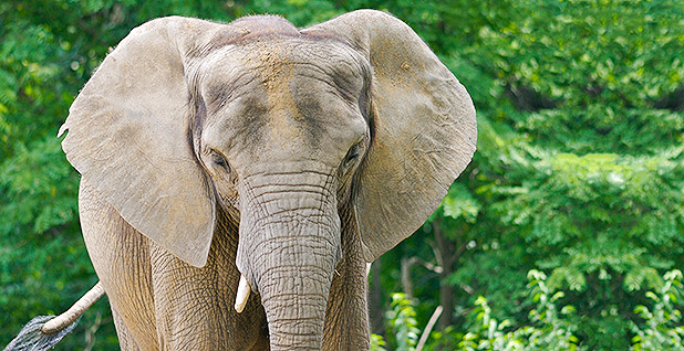African elephant. Photo credit: Ryan Poplin/Flickr