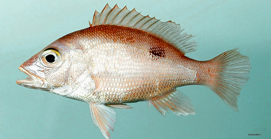 Red snapper. Photo credit: NOAA/Flickr