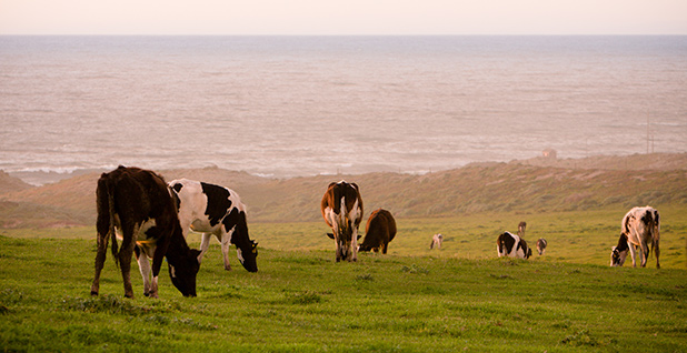 Cows at Point Reyes National Seashore. Photo credit: Chuck Grimmett/Flickr