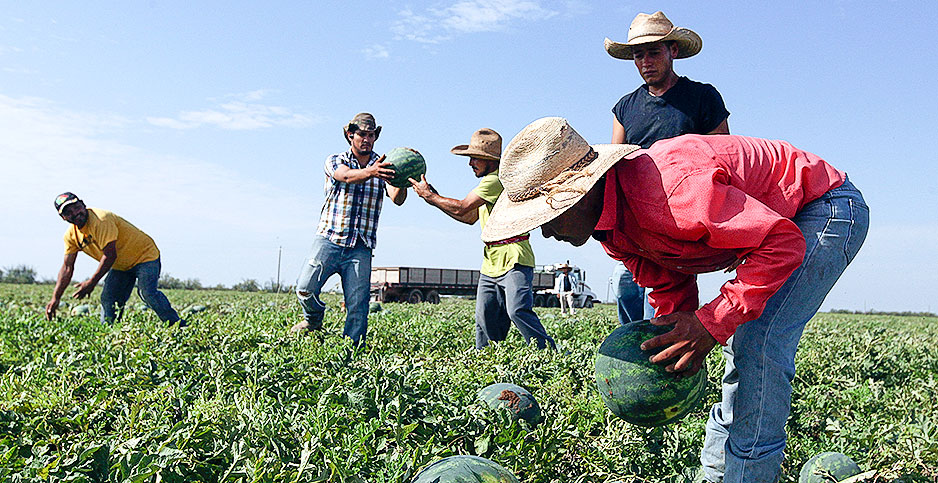 Migrant field hands picking watermelon at a Texas farm. Photo credit: Jacob Ford/Odessa American/Associated Press