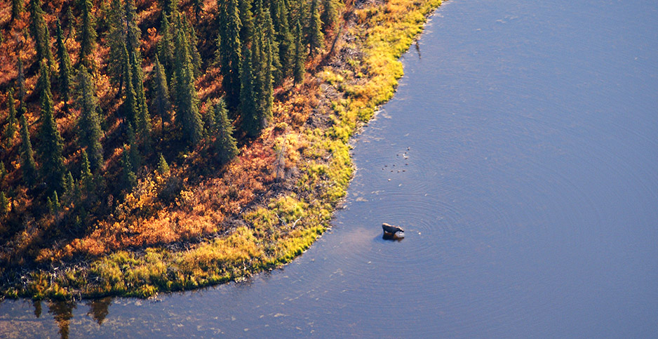 Moose in Kobuk River. Photo credit: Western Arctic National Parkland/Flickr