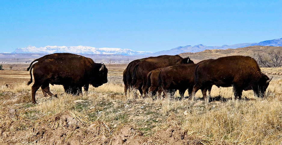 Bison on the Wind River Indian Reservation near Morton, Wyo. Photo credit: Ben Neary/Associated Press