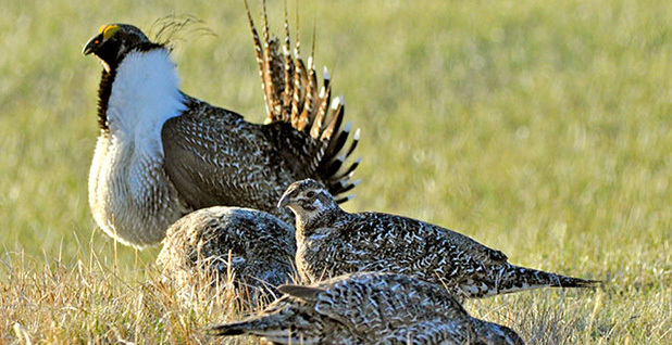 Sage grouse. Photo credit: Jeannie Stafford/Fish and Wildlife Service