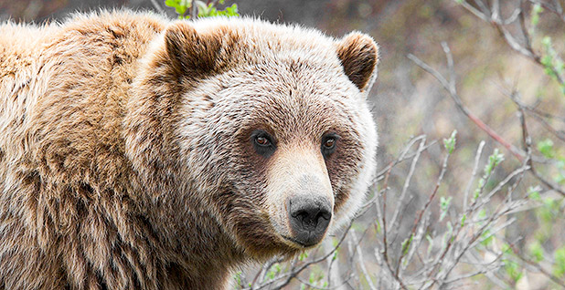 "Alaska grizzly bear. Photo credit: Gregory ""Slobirdr"" Smith/Wikimedia Commons"