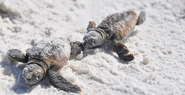 Two turtles on beach. Photo credit: Bureau of Land Management