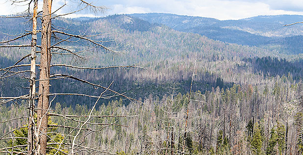 Dead and dying trees around Yosemite National Park in the Sierra Nevada. Some 130 million dead trees in California forests pose a grave wildfire threat, forest managers say. Marc Heller/E&E News