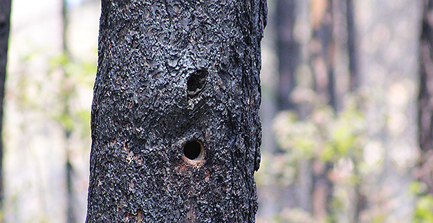 A black-backed woodpecker cavity in an area of the Stanislaus National Forest burned in the Rim Fire. Critics of post-fire logging say it spoils wildlife habitat. Marc Heller/E&E News
