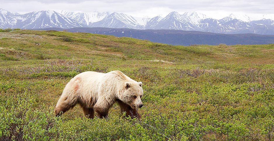 "A grizzly bear in Alaska's Denali National Park. Photo credit: Gregory ""Slobirdr"" Smith/Flickr"