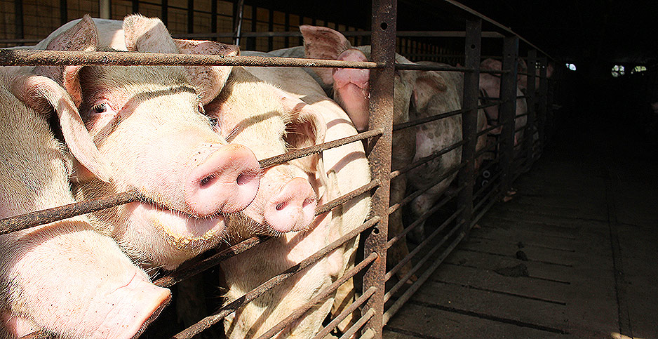 Pigs at a NC farm. Photo credit: Marc Heller/E&E News