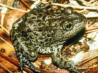 Dusky gopher frog. Photo credit: Glen Johnson/Fish and Wildlife Service