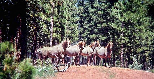 Wild horses. Photo credit: U.S. Forest Service
