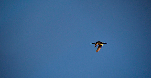 Pintail duck in the sky. Photo credit: Ariel Wittenberg/E&E News