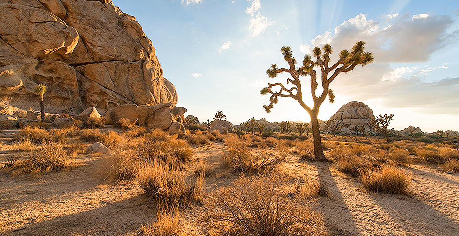 Joshua Tree. Photo credit: Christopher Michel/Flickr