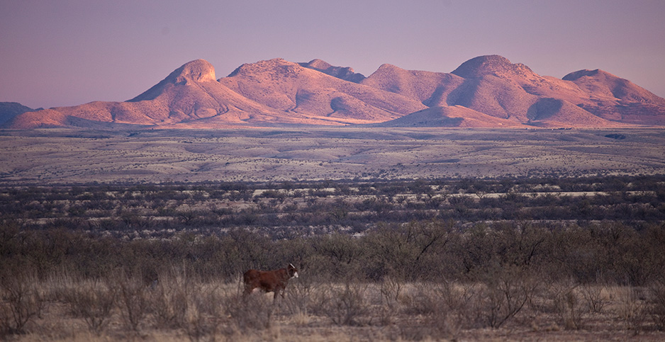 Cow at Las Cienegas National Conservation Area. Photo credit: Bureau of Land Management