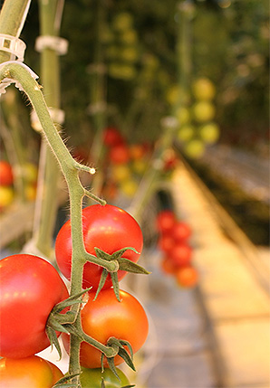 Tomatoes ripening on the vine at the Pure Flavor greenhouse in Fort Valley, Ga. Photo credit: Marc Heller/E&E News.