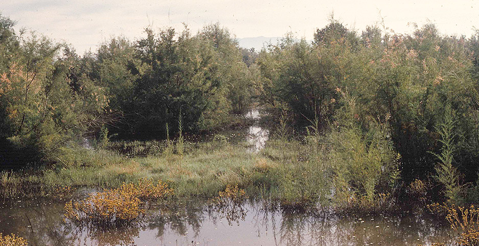 Salt cedar wetland in New Mexico. Photo credit: Fish and Wildlife Service/Wikimedia Commons