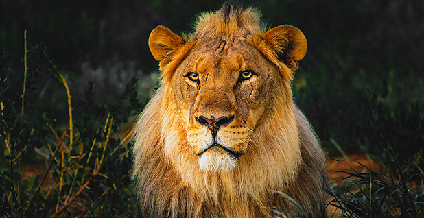 An African lion. Photo credit: ManoharD/Flickr
