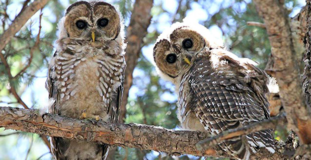 A pair of Mexican Spotted Owls is seen perched on a branch. Photo credit: National Park Service