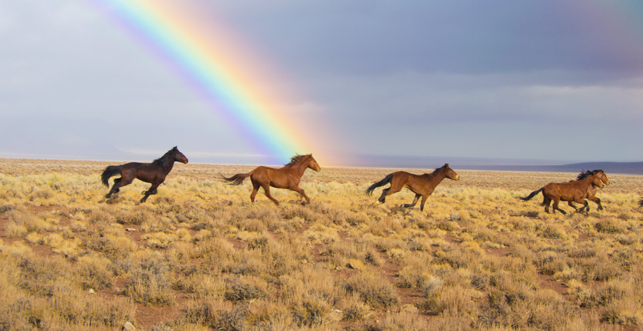 Wild horses being released back onto the range. Photo credit:  Kyle Hendrix/BLM Nevada/Flickr