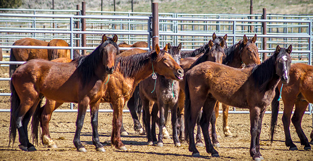 Wild horse corral. Photo credit: Greg Shine/BLM/Wikimedia Commons