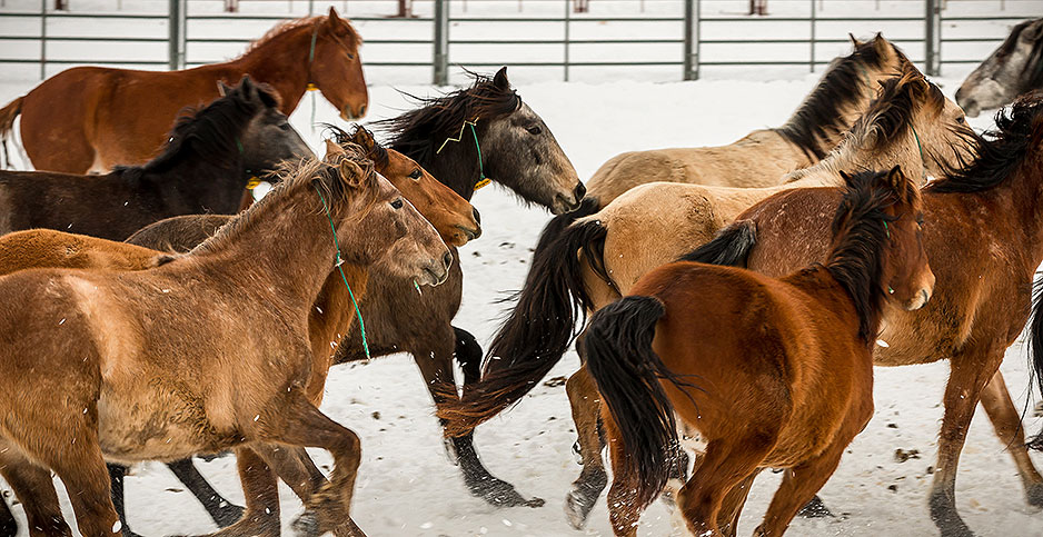 Wild horses in a coral facility in Hines, Ore. Photo credit: Greg Shine/BLM/Flickr