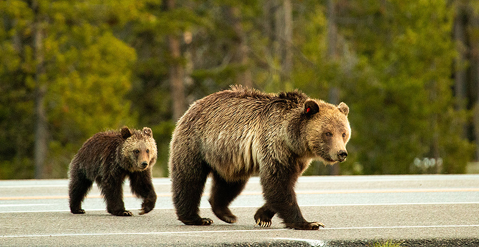 Grizzly bear and cub crossing a road. Photo credit: Grand Teton/Flickr