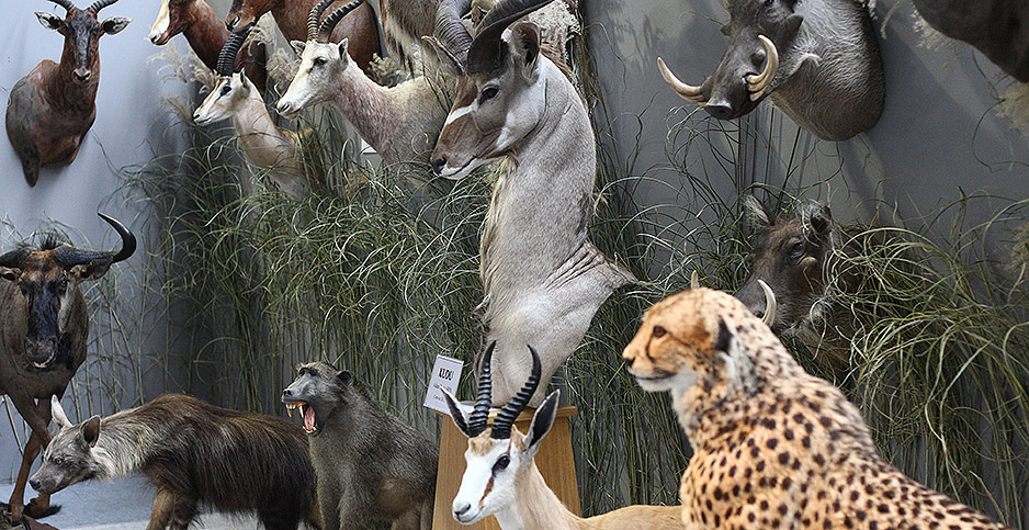 Taxidermy animal trophies. Photo credit: Michal Fludra/NurPhoto/Sipa USA/Newscom
