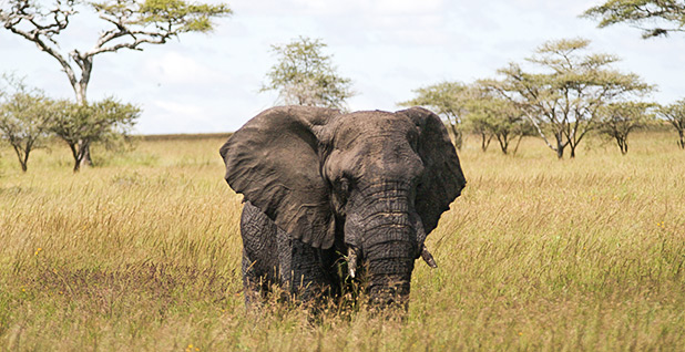 Elephant. Photo credit: Calle v H/Wikimedia Commons