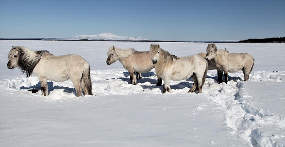 Wild horses in the Russian Arctic.  Photo credit: Pleistocene Park