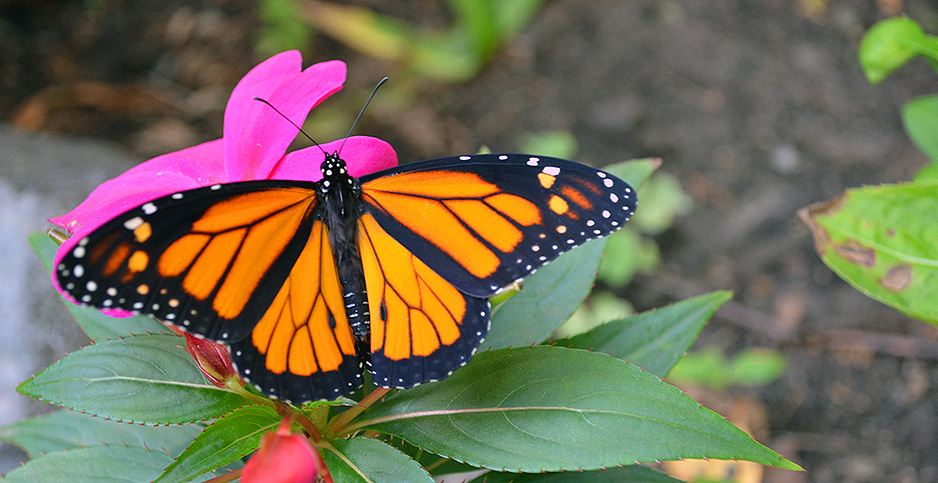 Monarch butterfly. Photo credit: Joanna Gilkeson/FWS/Flickr