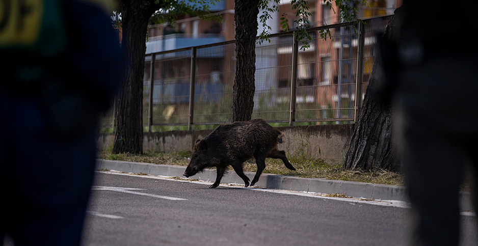Wild boar on the street in Barcelona. Photo credit: Xinhua News Agency/Newscom