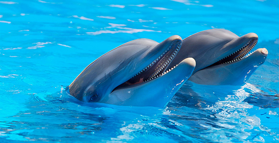 Two dolphins with heads out of water. Photo credit: Hamid Elbaz/Pexels