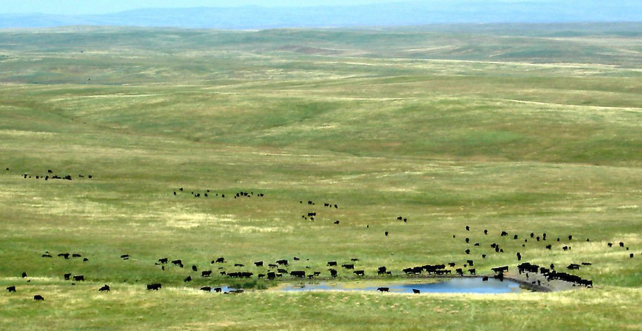Cattle grazing near a stock pond at the Oglala National Grassland in Nebraska. Photo credit: U.S. Department of Agriculture/Flickr